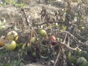 tomates de ZAD